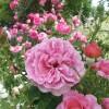 5月の思い出 横浜イングリッシュガーデンはバラでいっぱいの庭。