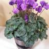 贈り物 鉢植え「シクラメン セレナーディア アロマブルー~バスケット仕立~」植物の特別な色 ブルー
